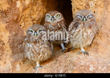 Little owl chicks in burrow Entrance - Stock Photo