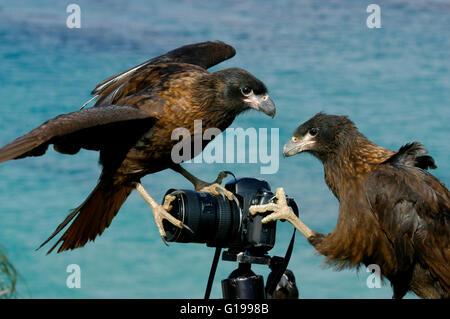 Johnny Rooks, or Striated Caracaras (Phalcoboenus australis) Playing with camera, New Island, Falkland Islands - Stock Photo