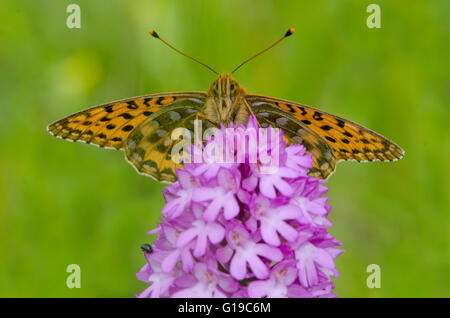 Dark Green Fritillary butterfly on Pyramidal Orchid - Stock Photo