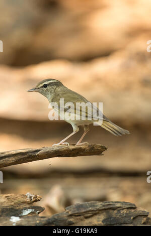 The pale-legged leaf warbler (Phylloscopus tenellipes) is a species of Old World warbler in the Phylloscopidae family. - Stock Photo