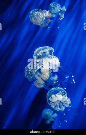 Rhizostoma pulmo the barrel jellyfish in Genoa aquarium - Stock Photo