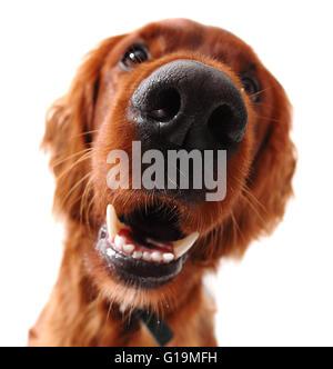 Irish setter dog, taken at fun angle with wide angle lens - Stock Photo