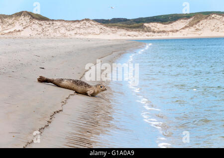 Young seal Phoca vitulina,  known as the common seal takes to the water in county Donegal, Ireland - Stock Photo