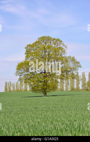 Pedunculate or English Oak - Quercus robur - spring - Stock Photo