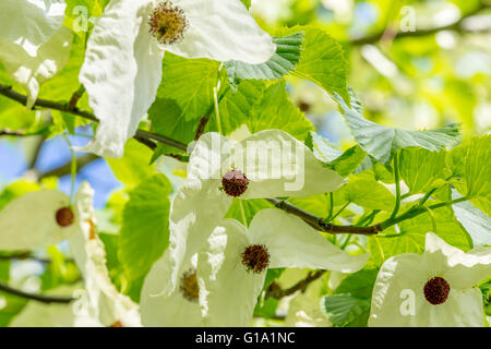 DAVIDIA INVOLUCRATA, THE DOVE-TREE, HANDKERCHIEF TREE, POCKET HANDKERCHIEF TREE, OR GHOST TREE - Stock Photo
