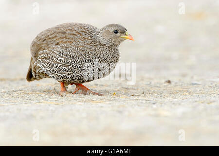 Natal spurfowl or Natal francolin (Pternistis natalensis) on the ground, Kruger National Park, South Africa - Stock Photo