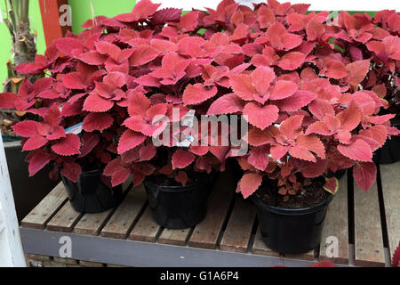 Red Head Sun Coleus  or known as  Solenostemon scutellarioides  growing in a pot - Stock Photo