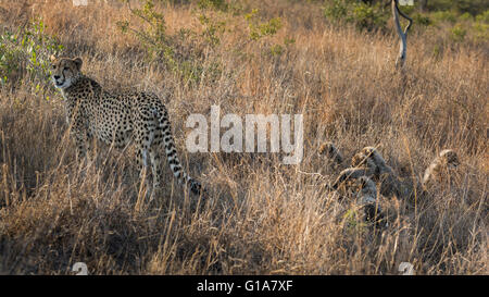 Mother cheetah with cubs hiding in the long grass, KwaZulu Natal, South Africa. - Stock Photo