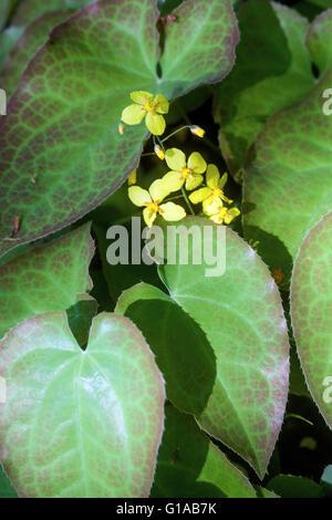 Barrenwort Epimedium x perralchicum, flowering, yellow - Stock Photo