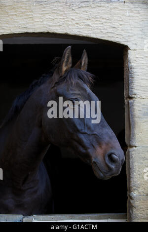 Black horse looking through a door in the stable stable - Stock Photo