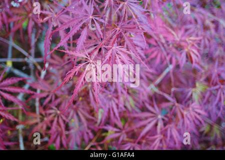 Red foliage of the weeping Laceleaf Japanese Maple tree (Acer palmatum) - Stock Photo
