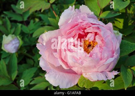 Pink tree peony flower bush in full bloom - Stock Photo