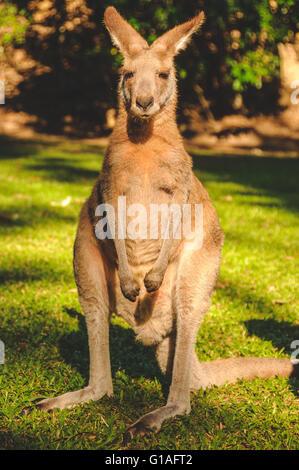 Kangaroo at Hartley's crocodile park near Cairns in Queensland - Stock Photo
