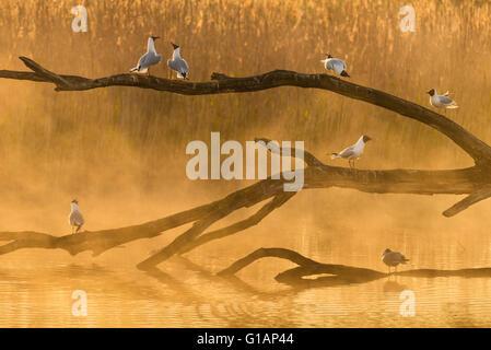 Seagulls in morning light La Brenne - Stock Photo