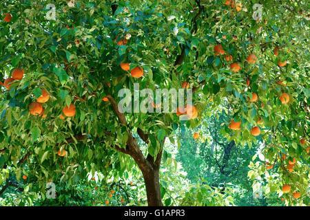 A tree full of ripe oranges - Stock Photo