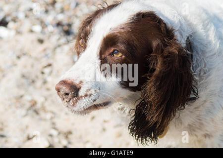 Portrait of a cute springer spaniel at a beach - Stock Photo