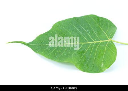 Sacred Fig tree with a focus on Buddhism. - Stock Photo