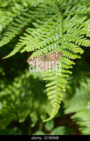Speckled Wood butterfly, Pararge aegeria, basking in sunshine on a fern leaf, Wales, UK. - Stock Photo