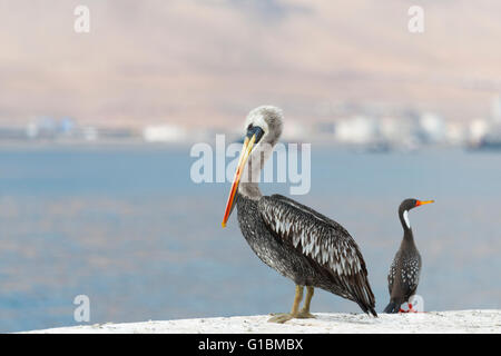 Wild Birds in Chile - Stock Photo