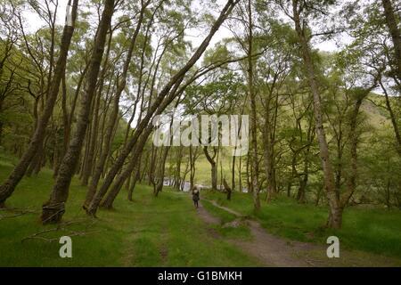Woman walking on a path through mature Birch woodland, Dinas RSPB reserve, Wales, UK - Stock Photo