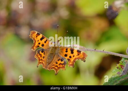 Comma butterfly, Polygonia c album on Blackberry bush in Autumn, Wales, UK - Stock Photo