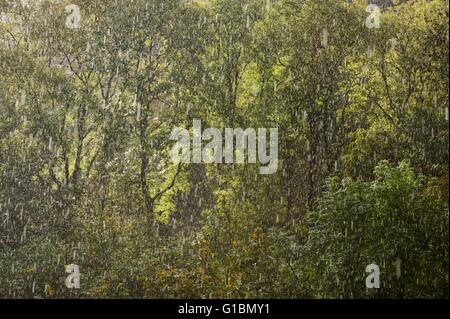 Summer Rain in a Welsh woodland - Stock Photo