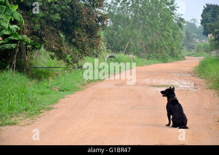 Thai Black dog sitting at Lateritic soil road at countryside morning time in Phatthalung, Thailand. - Stock Photo