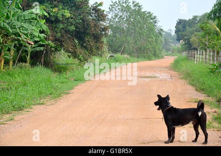 Thai Black dog standing at Lateritic soil road at countryside morning time in Phatthalung, Thailand. - Stock Photo