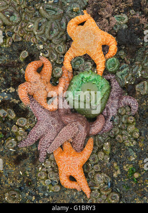 Ochre Sea Stars (Pisaster ochraceus) and anemones at low tide,  Shi Shi Beach, Olympic National Park, Washington - Stock Photo