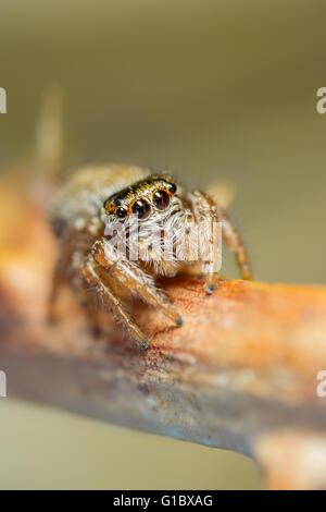 Evarcha falcata jumping spider hunting on dead bramble - Stock Photo