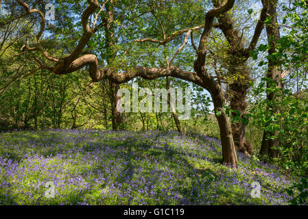An English Oak bough reaching out over masses of bluebells in an English woodland in spring. - Stock Photo