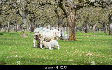 Sheep in an orchard with two lambs suckling from a ewe - Stock Photo