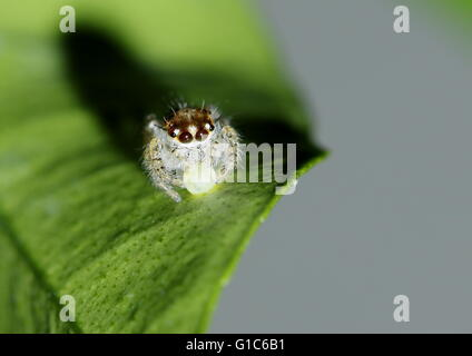 A white and brown jumping spider feeding on the egg of another insect. - Stock Photo