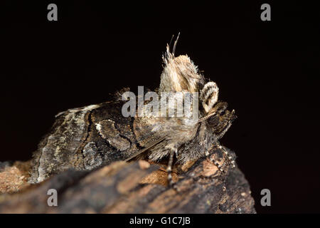 British insect in the family Noctuidae, the largest British family of moths - Stock Photo