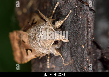 Hebrew character moth (Orthosia gothica). British insect in the family Noctuidae, the largest British family of - Stock Photo