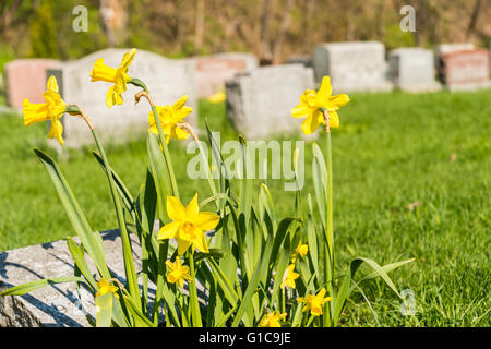 Tombstones in Montreal Cemetary with yellow jonquils in springtime - Stock Photo