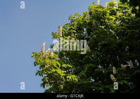 Aesculus Hippocastanum, Horse Chestnut,  Buckeye. - Stock Photo
