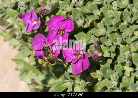 A drone fly, Eristalis tenax, on an aubretia, Aubreta, flower in early spring sunshine, Berkshire, March - Stock Photo
