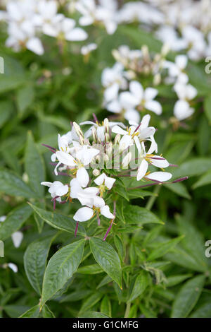 Cleome, white spider flower and leaves - Stock Photo