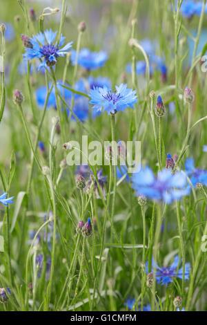 Cornflowers, Centaurea cyanus, macro background - Stock Photo
