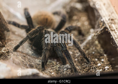 Greenbottle blue Tarantula (Chromatopelma cyaneopubescens ...