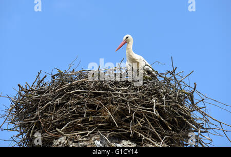 White Stork on nest in Spain Ciconia ciconia - Stock Photo