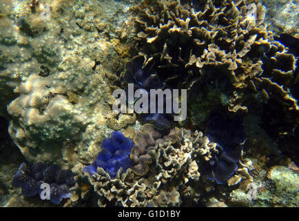 Group of Giant Clams, Tridacna maxima in Thailand - Stock Photo