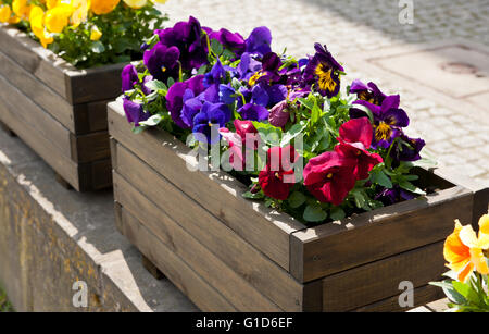 Abloom varied pansies decoration outside of the restaurant, flowering purple, red and yellow plants growing in wooden - Stock Photo