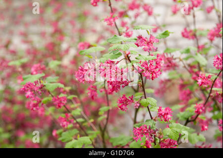 Currant red flowering macro, blossoms in spring season in Poland, Europe, plenty red flowers on the lush blooming - Stock Photo