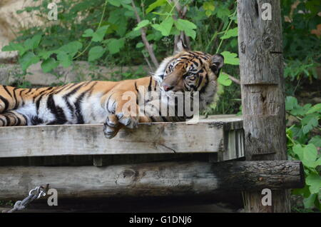 Sumatran Tiger (panthera tigris sumatrae) Waking Up From Sleep San Antonio Zoo San Antonio Texas USA - Stock Photo