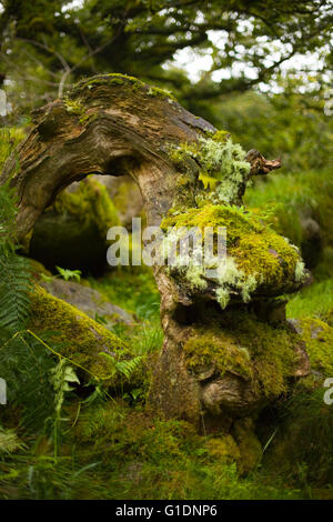 Mosses and lichens covering an old twisted tree trunk in Wistmans Wood, Devon, UK - Stock Photo