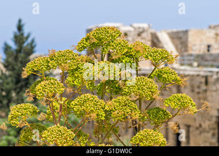 NORTH CYPRUS WILD FENNEL WITH SEED HEADS GROWING IN KYRENIA CASTLE - Stock Photo