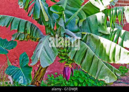 A banana tree with green fruit and purple blossom growing in a garden in Todos Santos, Baja Sur, Mexico. - Stock Photo