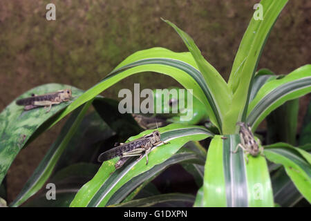 A migratory locust (Locusta migratoria) sitting on a leaf with a blurred predator, Wallace's flying frog (Rhacophorus - Stock Photo